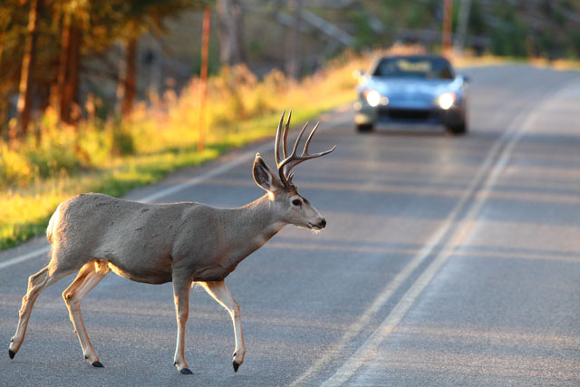 Ten (10) Quick Tips to Avoid Accidents with Deer